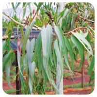 Citroeneucalyptus - Eucalyptus citriodora - 10 ml - BIO