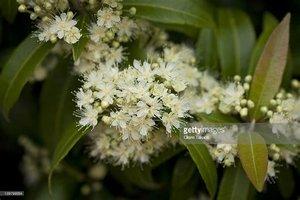 Backhousia citriodora - 10 ml