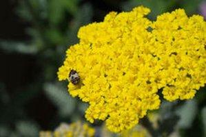 Duizendblad - Achillea millefolium - BIO
