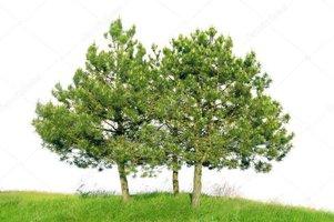 Den grove - Pinus sylvestris - BIO