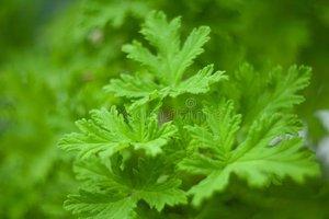 Geranium - Pelargonium graveolens - BIO