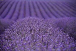Lavendel - Lavendula angustifolia - BIO
