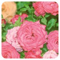 Rozenhydrolaat (zacht) - Rosa damascena - BIO